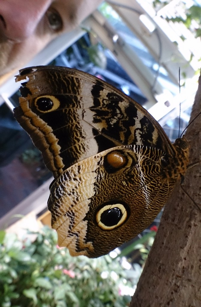 These butterflies fake being owls. Very successfully.